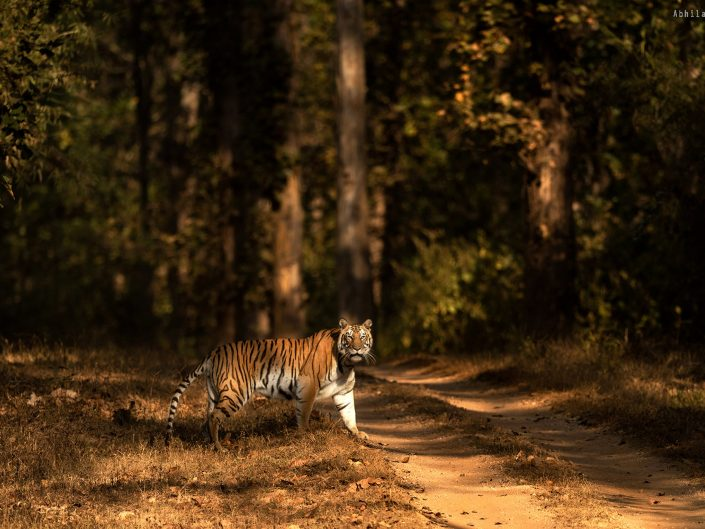 Female Tiger in lovely play of light & shadow